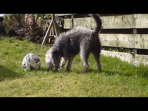 Bedlington Terrier Maisey Moo playing ball