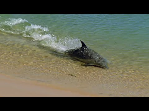Hydroplaning Dolphins | Planet Earth | BBC Earth
