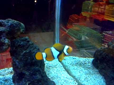 Clown fish family in one fish tank, aquarium shop HD