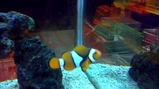 Clown fish family in one fish tank, aquarium shop HD