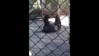 +18 Самка обезьяны делает минет самцу