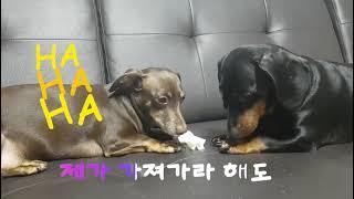 식탐왕 닥스훈트동이의 일기 2편#dachshund
