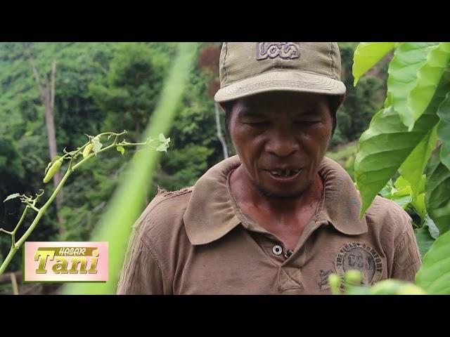 Habar Tani Episode 2 -  Penanganan Penyakit Pada Cabe Segmen 1 #TV Tabalong