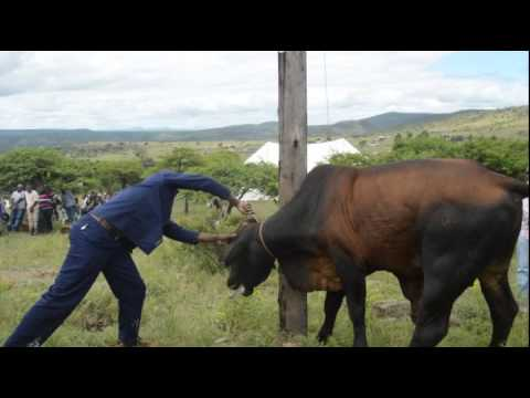Watch Video:  Man slaughters cow during reconciliation ceremony
