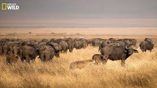 Hyenas Hunting Buffalo - BBC Documentary