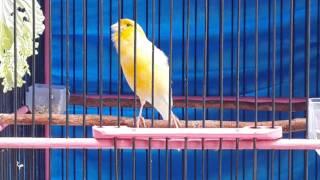 Video CANARY BIRD: Kenari lokal atau kenari kalitan PRESTASI banyak (JAGUAR) download MP3, 3GP, MP4, WEBM, AVI, FLV Juni 2018