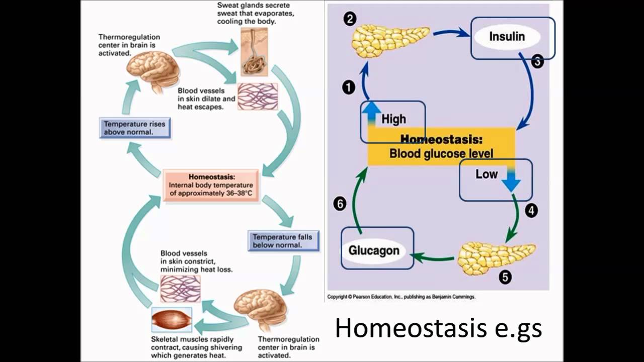 human homeostasis Homeostasis refers to the ability of an organism or environment to maintain  stability in spite of changes the human body is full of examples of homeostasis.