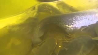 Подводное видео зимовальных ям на оке.(Подводное видео зимовальных ям на оке. Уникальные подводные съемки зимовальных ям на оке. Сом на зимовальны..., 2015-03-08T16:27:41.000Z)