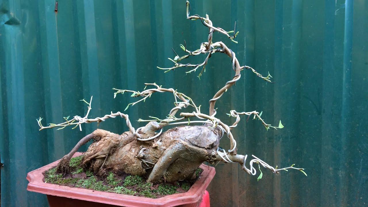 Lên chậu và uốn cây sanh bonsai