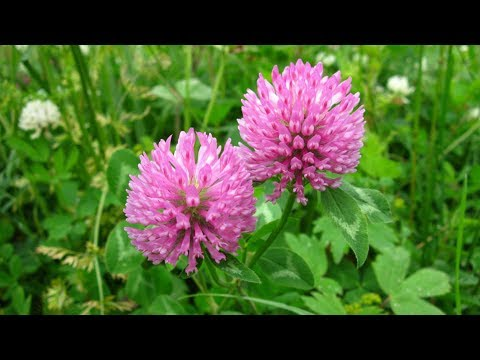 Цветки КРАСНОГО КЛЕВЕРА -  отличное средство для ОЧИЩЕНИЯ сосудов!