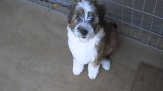 珍犬チベタン、テリアの可愛い仔犬.