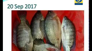 Amchi Mati Amchi Manse - 09 October 2017 - तिलापिया माशाची आधुनिक पद्धतीने शेती – यशोगाथा