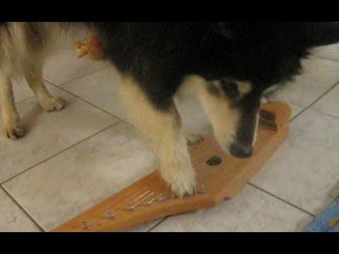 Finnish Lapphund dog plays finnish instrument