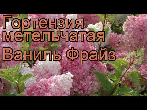 Гортензия метельчатая Ваниль Фрайз 🌿 обзор: как сажать, саженцы гортензии Ваниль Фрайз