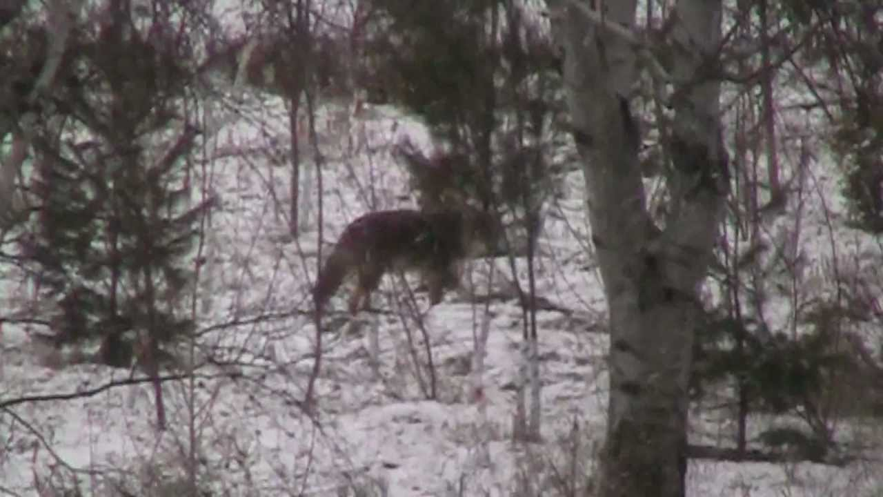 Coyote in our backyard - YouTube