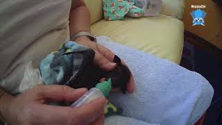Worming a baby bat:  this is Bawkie