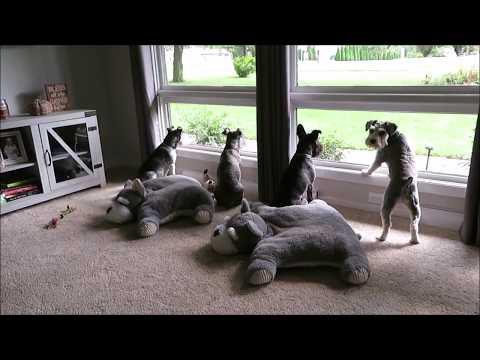 Cooped Up Schnauzers | Life With 6 Schnauzers | Dog Mom Life