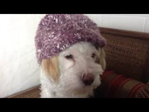 Schnoodle Who Loves Fashion!