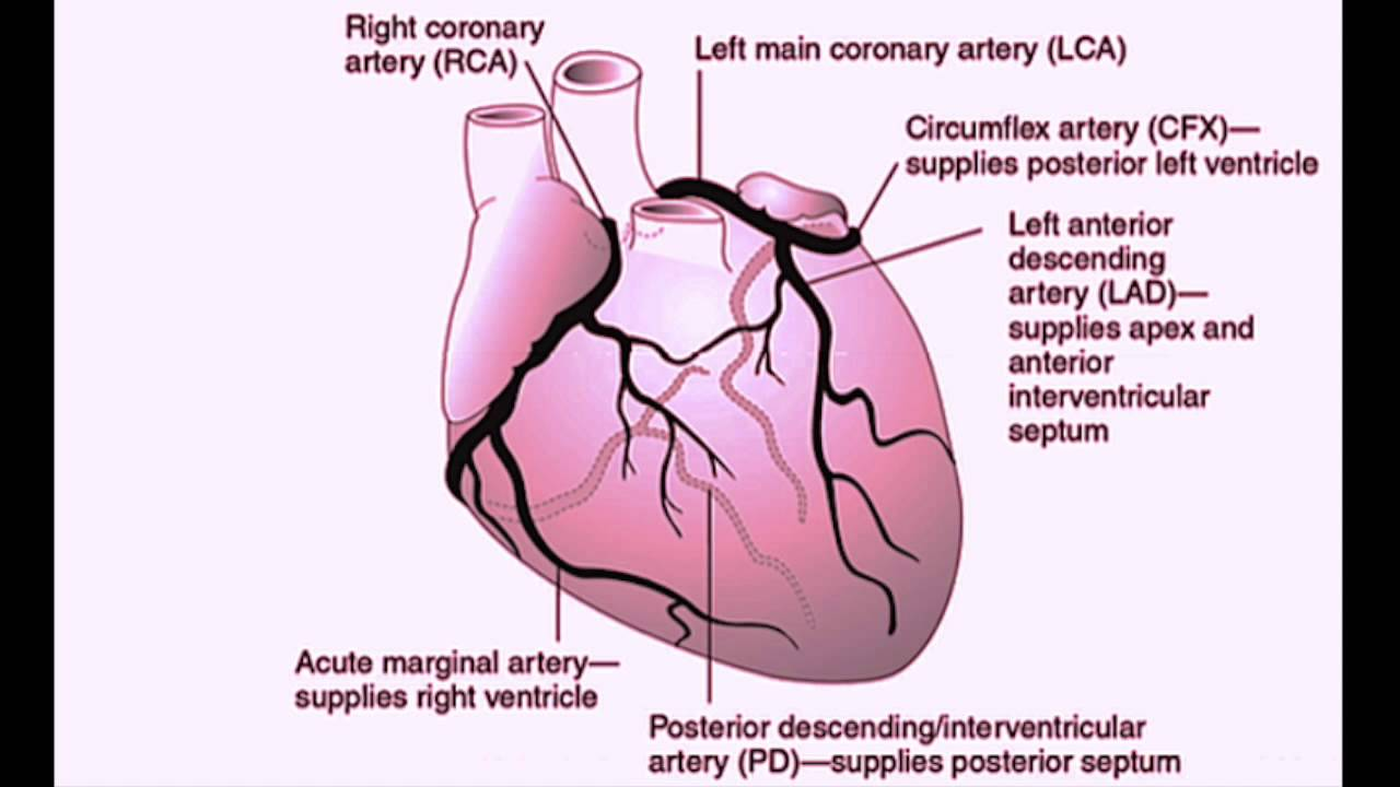 hight resolution of usmle cardiovascular system 2 coronary artery anatomy