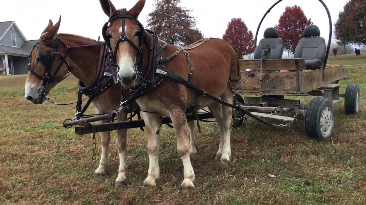 Draft mule team for sale. Watch them