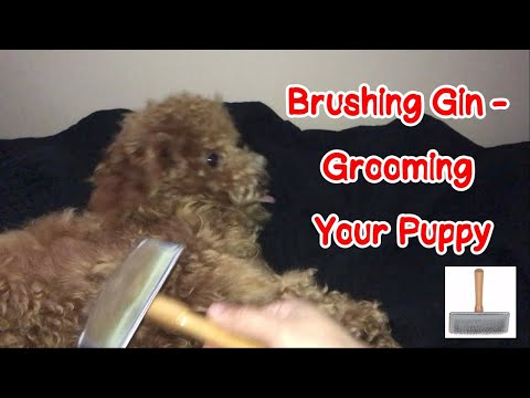 Brushing Gin - Grooming Your Puppy ~ Just Gin 3: Cutest Dog Ever! VOL. 46