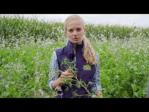 Zwischenfrüchte   Stickstoff sammeln auf ökologischen Vorrangflächen & Anrechnung f. d. Folgekultur