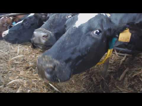 Экскурсия на ферму  ЗАО Константиново. Как живут коровы? Пензенская обл.