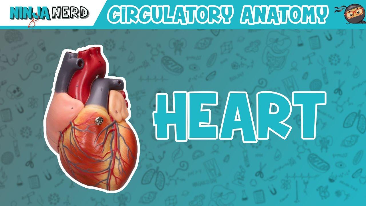 Cardiovascular | Anatomy of the Heart | Heart Model - YouTube