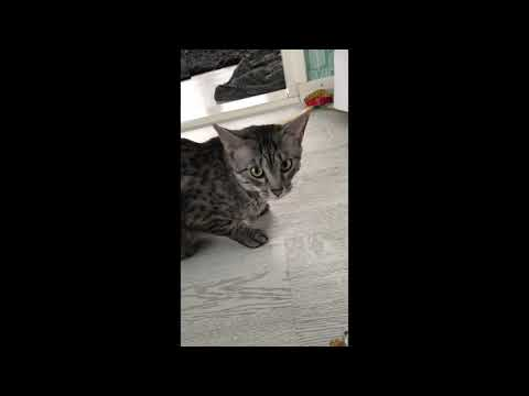 Egyptian Mau Lyyra gags at the sound of candy paper