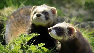 видео Самые древние и дикие собаки, которые живут в природе и не признают человека