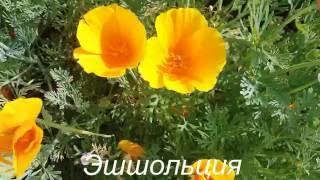видео Пиретрум девичий, поповник девичий (Pyretrum parthenum Smith)