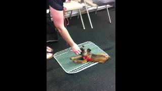 Urban K-9 San Diego Puppy Training A Student And Her Puppy In Class Learning Down Stay