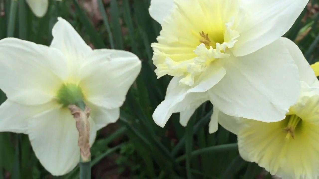 British spring blossoms white daffodils flowers blooming in garden british spring blossoms white daffodils flowers blooming in garden daffodils gardening spring mightylinksfo