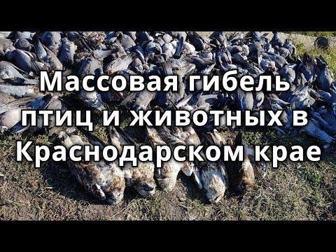 Массовая гибель птиц и животных в Краснодарском крае