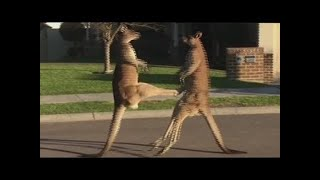 Kangaroos take their fight to the street - Danh nhau