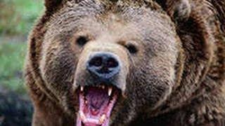 Медведи на охоте-Bears on the prowl