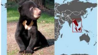 MALAYSIA: Malayan Sun Bear Borneo
