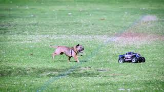 Charlie dog my Border Terrier chasing an RC electric Stampede jeep around the park in Scripps Ranch.