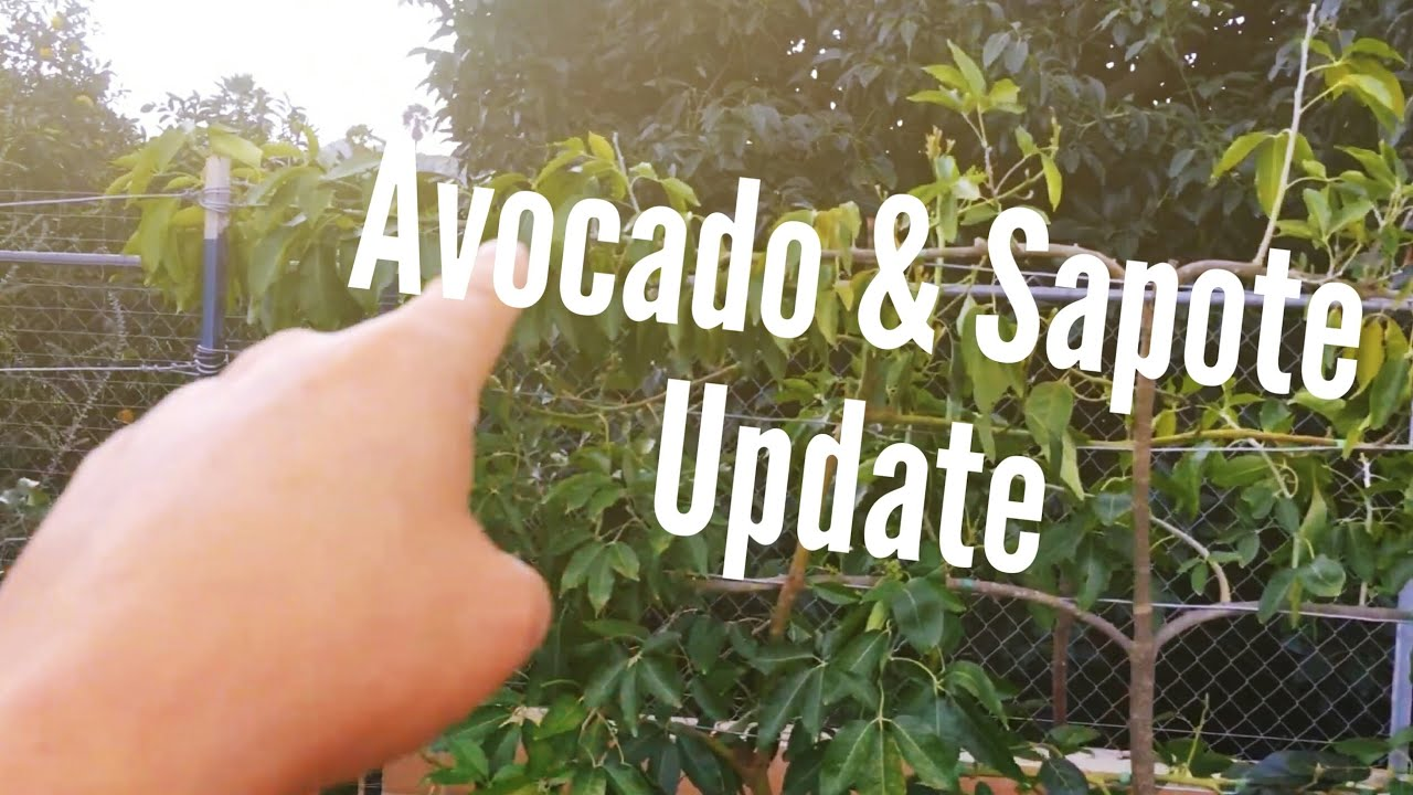 High Density Espalier Gardener - Avocado & Sapote 02-28-15 Update