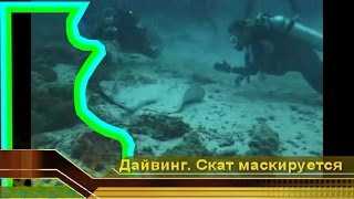 Скат stingray маскируется от дайверов видео. Мальдивы - рай красоты, Дайвинг и отдых (видео)(, 2009-12-21T19:11:43.000Z)