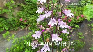 헵번 뜨락 ㅡ 자엽 펜스데몬 ㅡ (정원, 조경, 바다,…