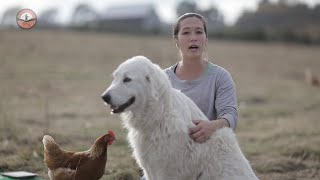 Livestock Guardian Dogs 101