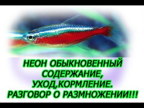Неон обыкновенный,Содержание, уход, кормление, разговор о размножении, небольшие рыбки для небольшог