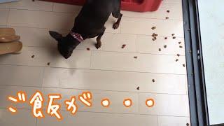 Miniature Pinscher spilled food. ミニピンの花ちゃんがお皿に体当たり...