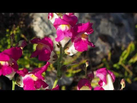 Antirrhinum majus L.mp4