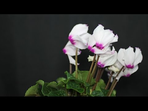 Cyclamen persicum - Alpenveilchen, Florist's Cyclamen