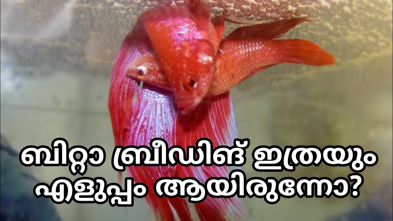 How to breed Betta Fish Malayalam | Betta fish breeding detailed Video | Malayalam Farm