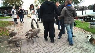 Ручные лебеди у Тракайского замка в Литве(Это видео загружено с телефона Android., 2011-10-10T10:48:18.000Z)