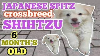JAPANESE SPITZ CROSSBREED SHIHTZU | FLAFFY NAME | ( 6 MONTH'S OLD ) | DER DOGS