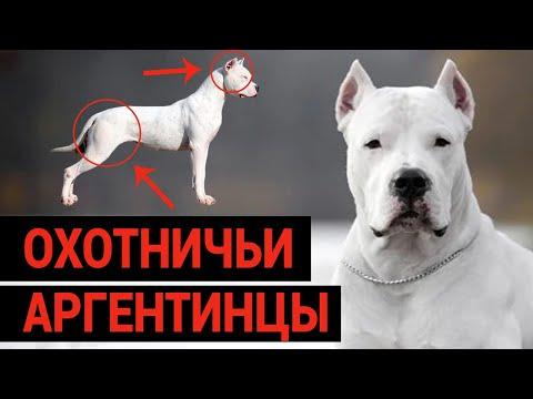 ОХОТНИЧЬИ АРГЕНТИНЦЫ / АРГЕНТИНСКИЙ ДОГ / ПОРОДА СОБАК // DOGO ARGENTINO